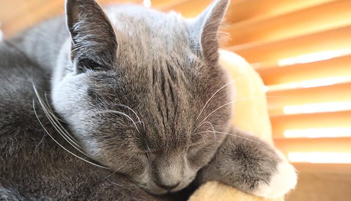 ブリティッシュショートヘアのモモの寝顔