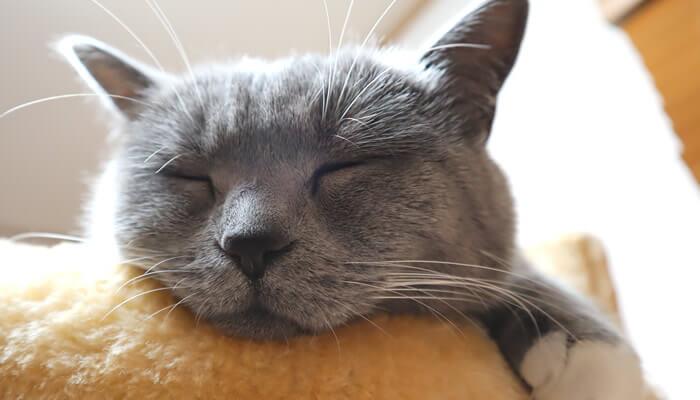 気持ち良さそうに寝るブリティッシュショートヘアのモモ