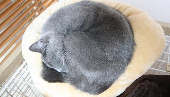キレイなアンモニャイトになる猫のモモ