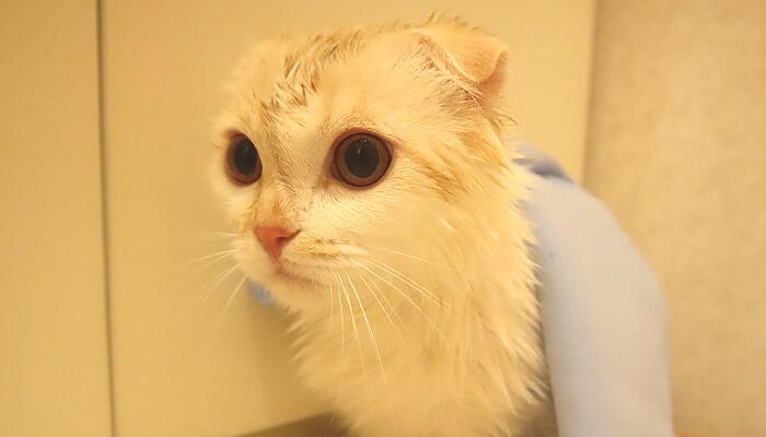 お風呂に入ったスコティッシュフォールドのレオ