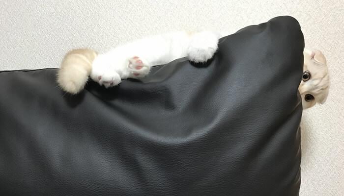 ソファーの上で寛ぐスコティッシュフォールドのレオ