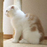 先住猫を見つめる新入り猫のスコティッシュフォールドのレオ