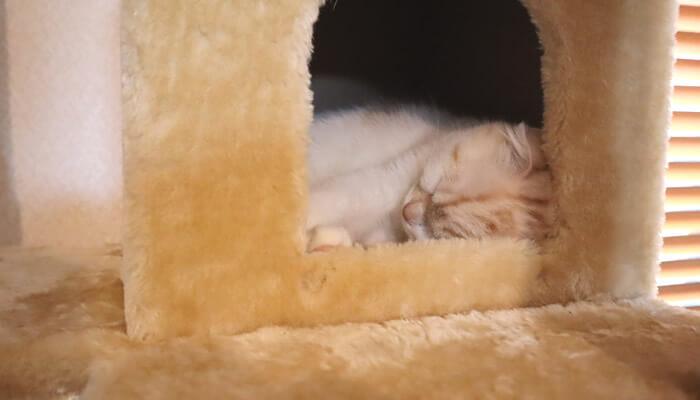 キャットタワーのハウスで寝るスコティッシュフォールドのレオ