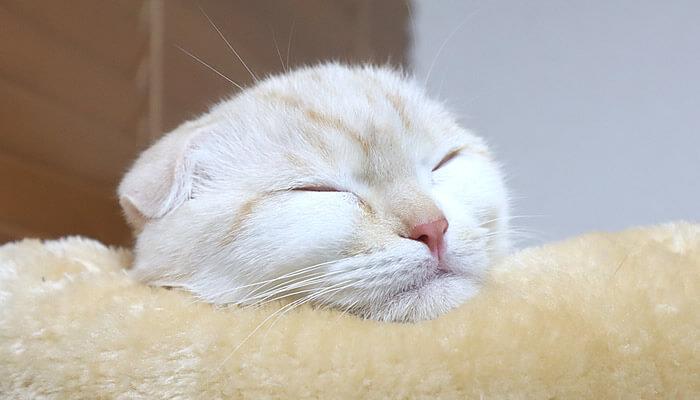 キャットタワーのベッドで寝るスコティッシュフォールドのレオ