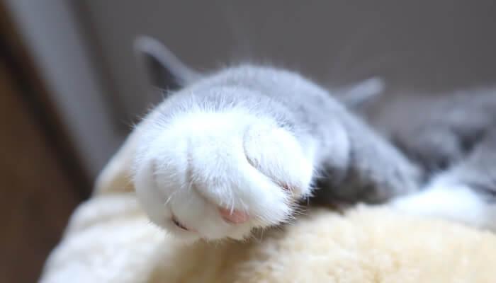 手から耳が生えるブリティッシュショートヘアのモモ