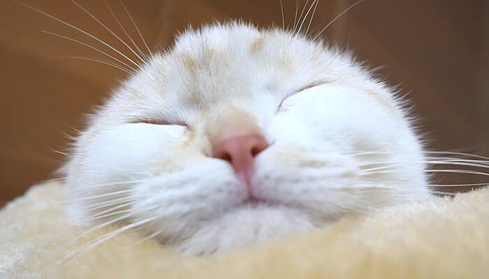 寝るとまん丸になるスコティッシュフォールドのレオ