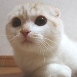 生後6ヵ月のスコティッシュフォールドのレオ
