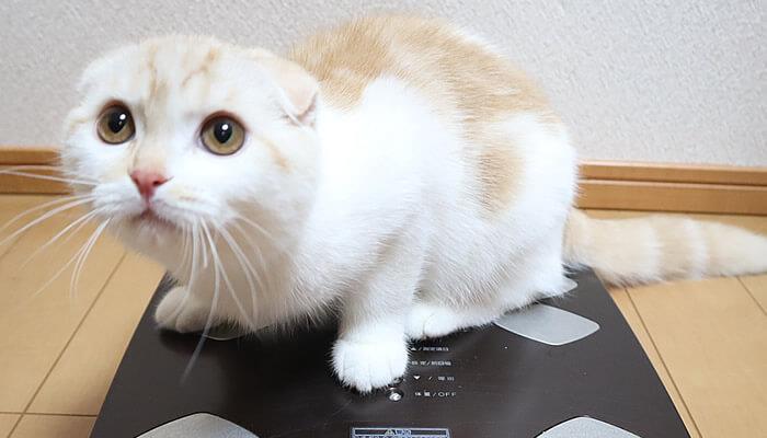 生後6ヵ月のスコティッシュフォールドのレオの体重測定