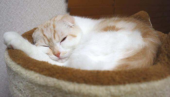 ベッドで寝るスコティッシュフォールドのレオ