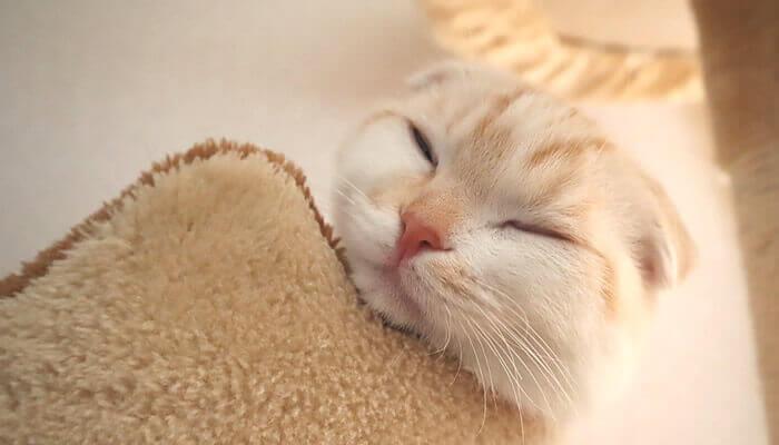 キャットタワーで寝るスコティッシュフォールドのレオ