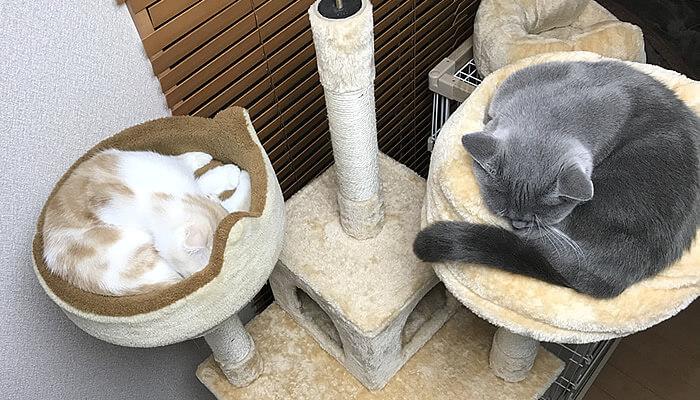 同じキャットタワーで初めて寝た先住猫と新入り猫