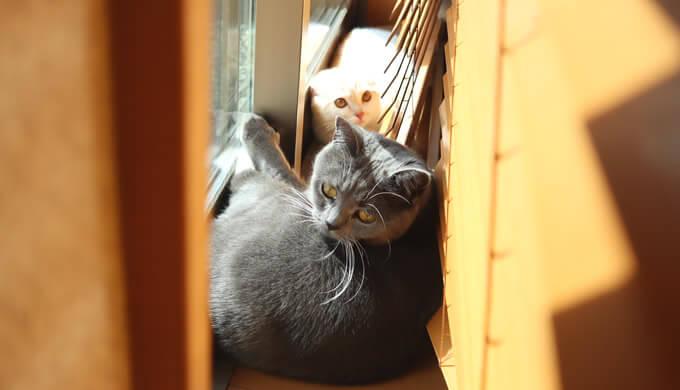 ブラインドの中でニャルソックする猫