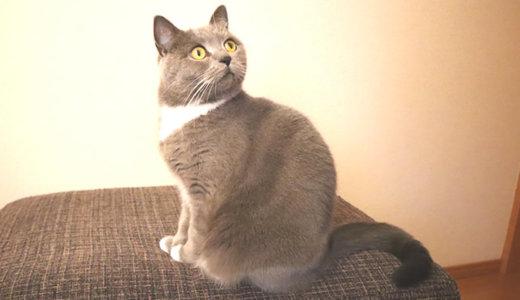 1歳8ヶ月の猫の体重測定|ブリティッシュショートヘア