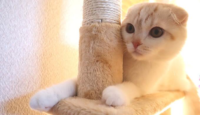 スコティッシュフォールド猫のレオ