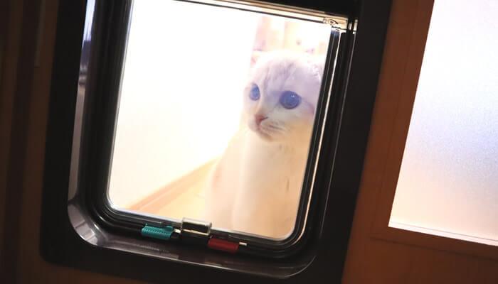 猫ドアから見つめるスコティッシュフォールドのレオ