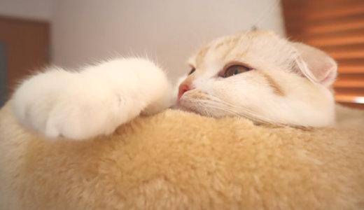 生後7ヶ月の猫の体重測定|スコティッシュフォールド