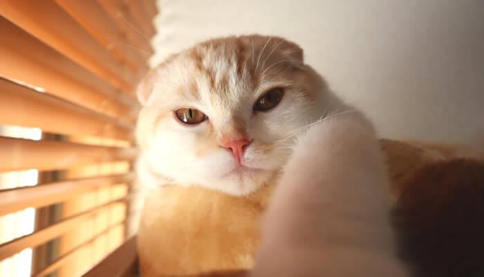 ベッドでくつろぐスコティッシュフォールドのレオ