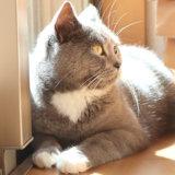 日向ぼっこするブリティッシュショートヘア猫のモモ