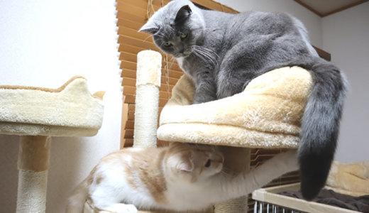 しっぽで遊びたい猫 VS 迷惑がる猫