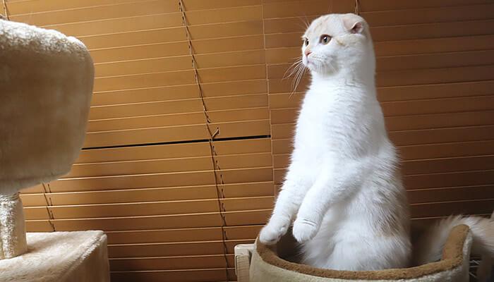 伸びるスコティッシュフォールド猫のレオ