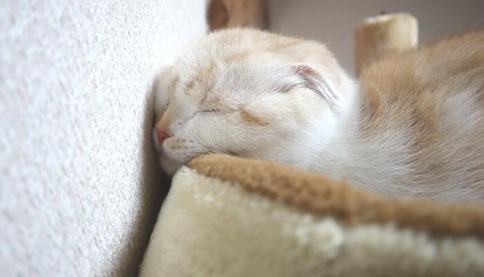 壁に顔を付けてお昼寝するスコティッシュフォールド猫のレオ