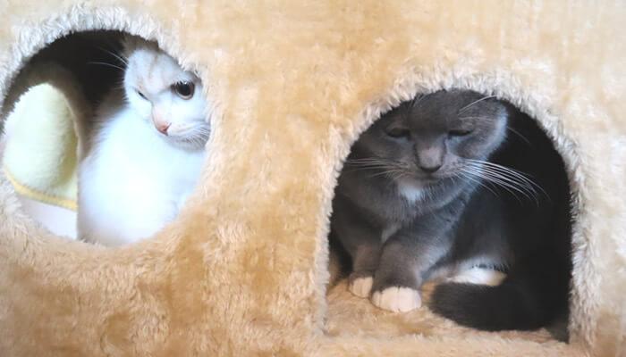 キャットタワーの隠れ家で気まずくなる猫たち