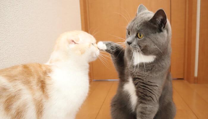プチパンチを繰り出す先住猫