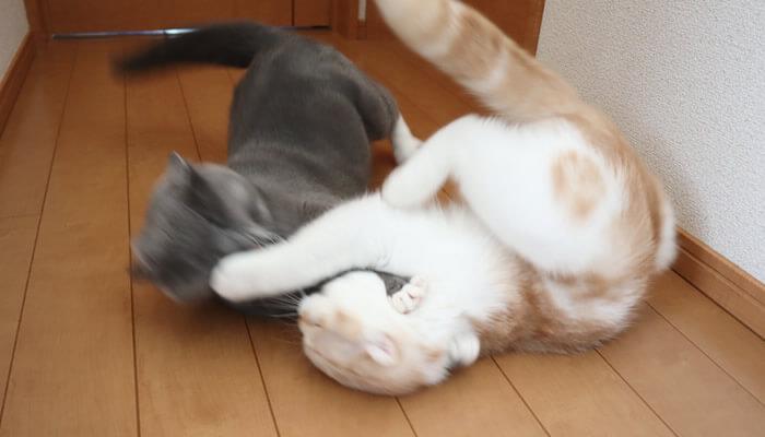 喧嘩する先住猫と新入り猫