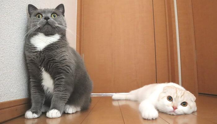 変顔をするブリティッシュショートヘアの姉猫モモ
