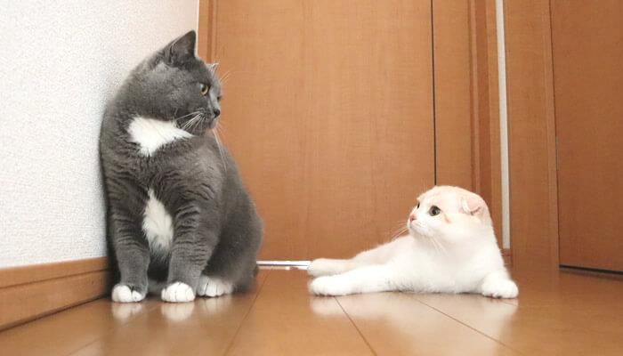 見つめ合う猫のモモとレオ