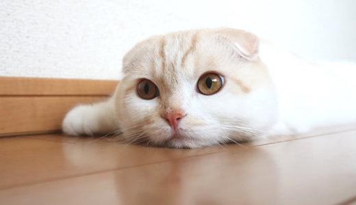 生後11ヶ月の猫の体重測定|スコティッシュフォールド